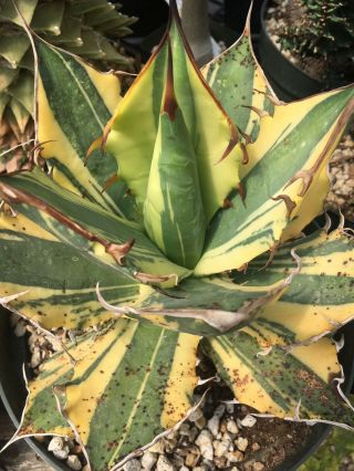 Agave titanota 'Suzanne's Sunrise'/variegated/new clone/ultra rare 5