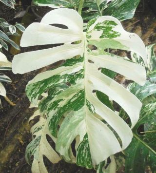 Rare White Albino Variegated Monstera Deliciosa,  Swiss Cheese Actual Plant 21