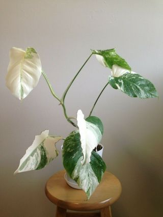Rare White Variegated Monstera Deliciosa Borsigiana Fully Rooted