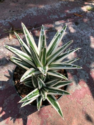 Rare Agave Victoria Reginae White Rhino - Mother Plant With Pup