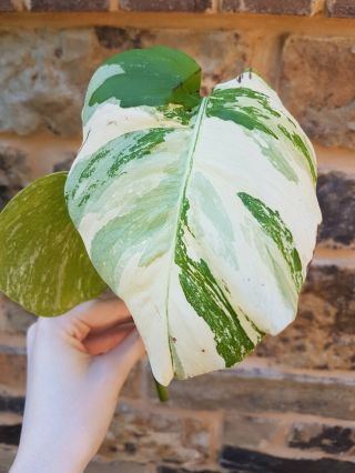 Rare Variegated Monstera Deliciosa Albo Borsigiana Highly Variegated Top Cutting