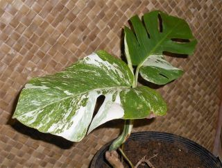 Rare White Albino,  Variegated Monstera Deliciosa,  Swiss Cheese,  Starter Plant