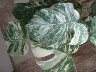 Rare Variegated Monstera Albo Swiss Cheese Rooted Plant