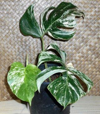 Rare White Albino Variegated Monstera Deliciosa,  Swiss Cheese,  Actual Plant