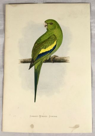 Canary Winged Conure,  Parrots In Captivity 1884,  Greene,  Colour Plate,  Print