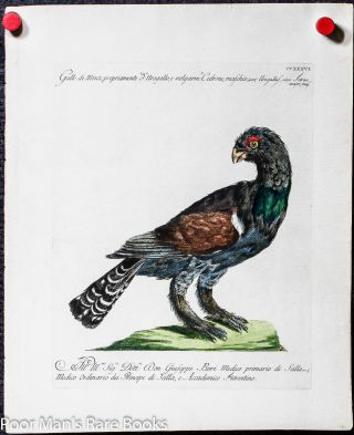 Colored Copper Plate Ornithological Engraving On Laid Paper Capercaillie Tetrao